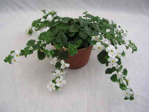 Bacopa Sutera Everest Pure White