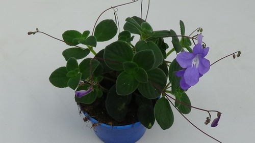 Streptocarpus Blue Fountain