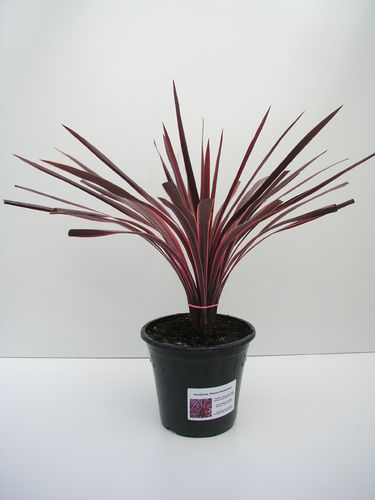"Cordyline ""Cherry Sensation"""