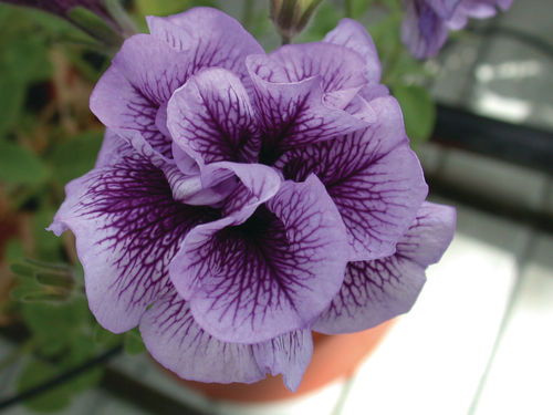 "Pétunia Viva double ""Purple Vein"""